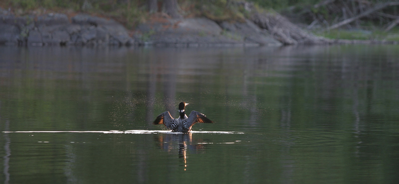A loon splashing on the lake.